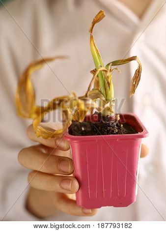 pot plant withered dried in kids hands close up photo