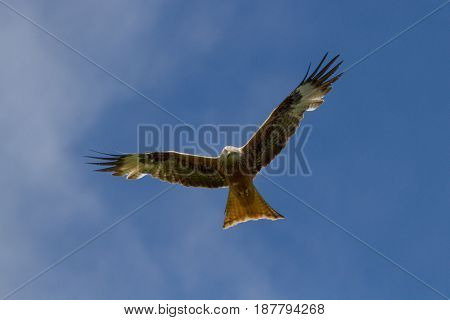 Red Kite (milvus Milvus) In Flight Agaist Blue Skies