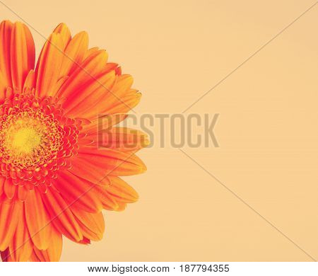 Orange flower gerber daisy on gray background instagram toned