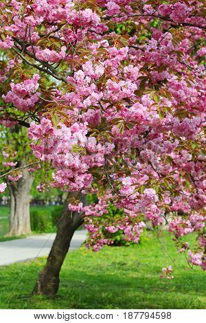 Pink sakura (flowering cherry) blossom on the Kyiv embankment in Uzhgorod, Ukraine