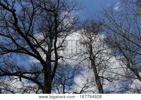 Bare tree/ Old bare tree and blue sky with white clouds.