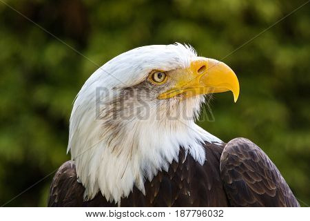 Bald Eagle (haliaeetus Leucocephalus) Portrait Also Known As American Eagle
