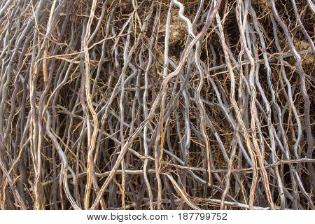 Exposed roots of palm trees. Natural abstract background for designers.