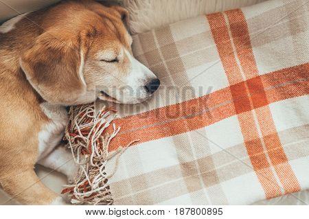 Cute beagle sleeps on a checkered plaid