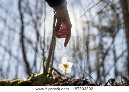 Close up of the hand of a man above a wild flower ecology and environment concept.