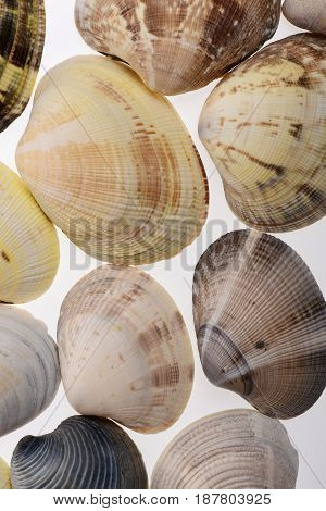 Set Of Cowries Shells Shells Isolated On White