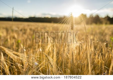 Close up low angle view of golden ear of wheat in an agricultural field illuminated by sun.