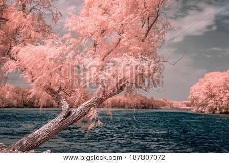 Willow Overlooking Bank Of Mississippi River In Color Infrared
