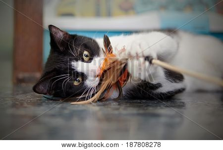 Portrait of the black-and-white cat lying on a floor and playing with a toy.