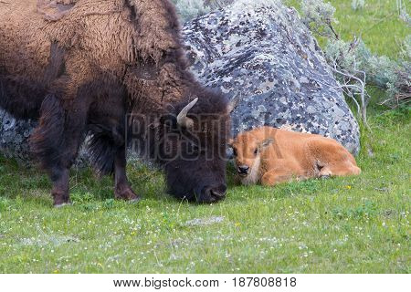 Female bison grazing, with her young calf laying down beside her on soft green grass, large grey boulder and sagebrush in background