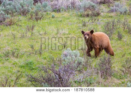 Cinnamon colored Black bear cub, running through meadow of green grass and sagebrush in the summertime