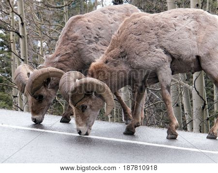 Wild big horn sheep licking salt off the highway between Silverton and Ouray Colorado after a Spring snowstorm followed by salting of the road