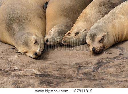 Four Sea Lions Sleep in a cuddling group on a rock