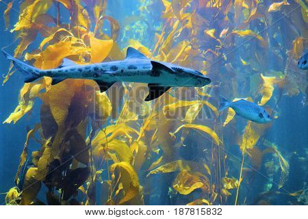 Leopard Shark swimming amongst a Kelp Plant Forest in the cold waters of the Pacific Ocean at the California Coast