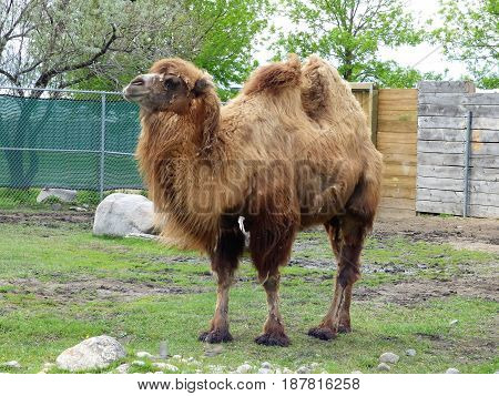 a full grown Bactrian camel that was as a means transporting goods in Biblical times.