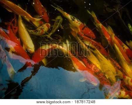 Colorful fancy carp fish koi fish Beauty in nature.