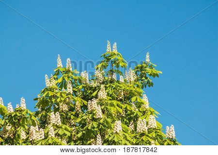 Flowering Chestnut Tree On Blue Sky Background.