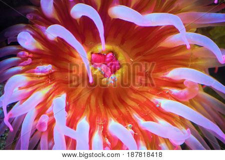 Colorful Sea Anemone taken at shallow tide pool waters in the cold waters of the Pacific Ocean