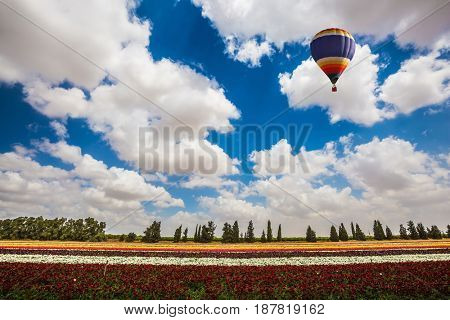 Huge field of garden buttercups-ranunculus. Above the flowers flying big bright balloon. The concept of summer vacation