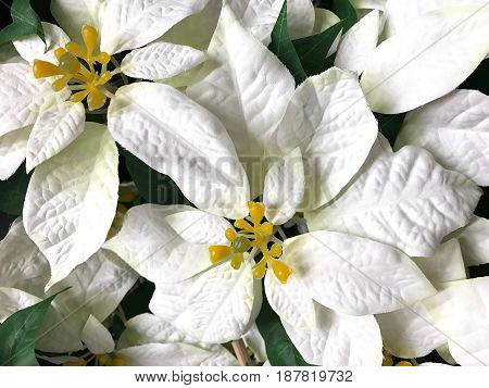 Top view of beautiful white Poinsettia christmas flower