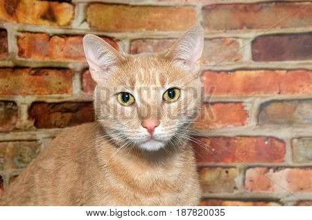Portrait of an orange ginger tabby cat looking directly at viewer. Brick wall background.