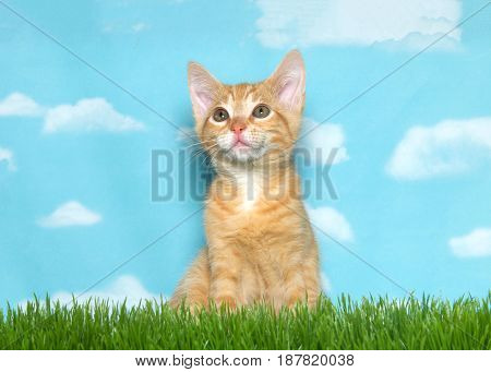Orange and white ginger tabby kitten sitting in tall grass looking up and to viewers left. Blue background sky with clouds.