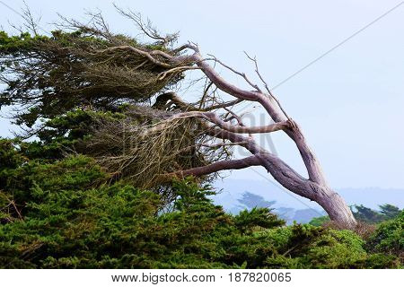 Windswept Cypress Pine Tree shaped by the wind taken on the Northern California Coast