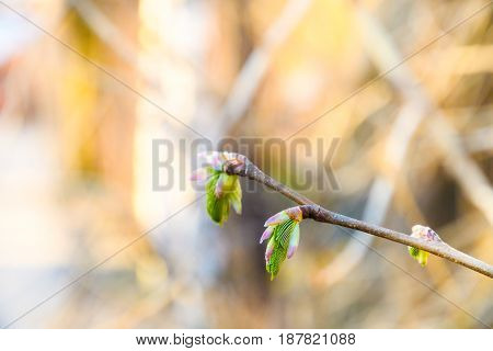 Blossoming Buds On The Branches With A Well Blurred Background
