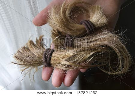 Close up of a hand holding a thick cut-off blond ponytail in the light of a window consisting of long beautiful tail of hair held together with hair ties