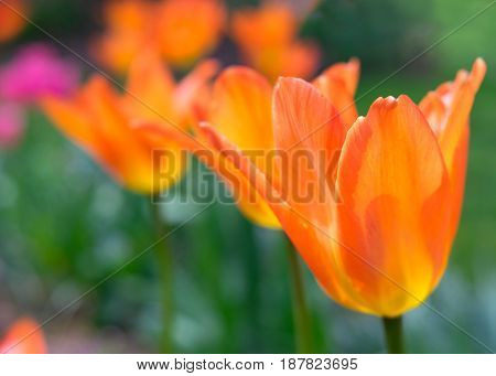 Orange Emperor tulips photographed with a specialty lens to give a soft dreamy effect and shallow depth of field.