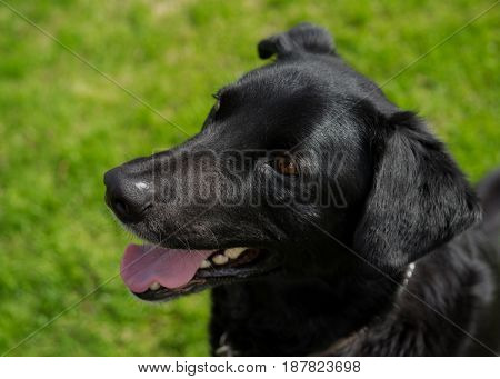Young black lab or mixed breed dog.