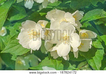 Jasmine Flowers On Bush In Sunny Day