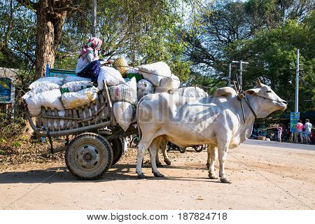 BAGAN, MYANMAR - MARCH 9, 2017. An unidentified Burmese woman riding ox cart at ancient city in Bagan (Pagan) on March 9, 2017, Myanmar.