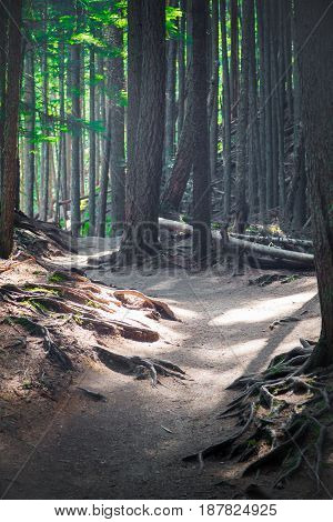 Glacier National Park dirt hiking trail past tall pines with exposed roots