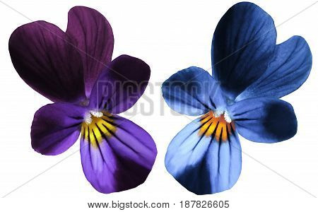 Flower pansy bloom on a white isolated background with clipping path. Closeup no shadows. Nature.