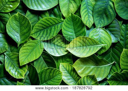 the Fresh tropical Green leaves as abstract background