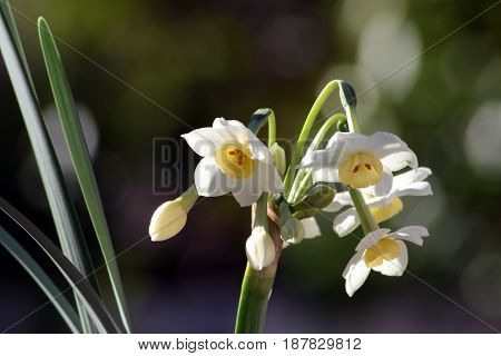 Beautiful flowering Jonquil, a spring perennial that flowers in clusters.
