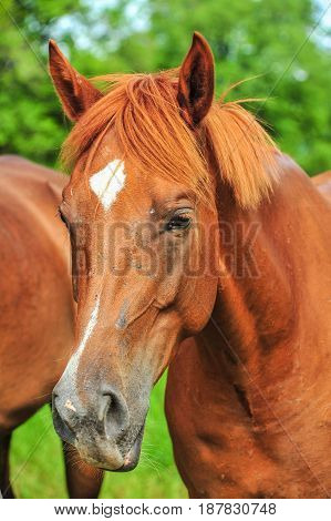 Closeup head of brown horse in farm