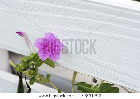 Beautiful flower and white wooden fence. Nature