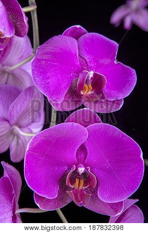 Two purple orchids. A close up of two beautiful purple orchid flowers
