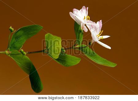 Beautiful daisy flowers isolated on brown background cutout