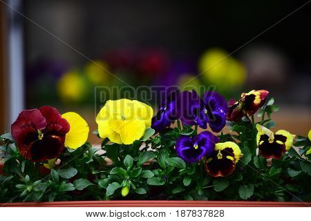 Pansy Or Violet Flowers With Colorful Petals In Flowerbed