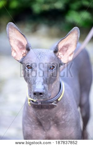 dog of Xoloitzcuintli breed mexican hairless dog grey color outdoor on blurred background