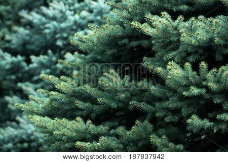 Background From Green Fir Tree Branch, Fluffy Young Branch Fir Tree With Needles