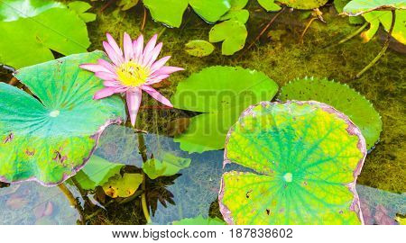 The magnificent lotus is a delicacy of insects.