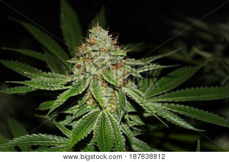 A close-up flash photo of a beautiful indoor grown marijuana flower covered in frosty crystals.