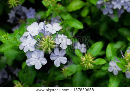 Group of plumbago auriculata in blue color with green leaf background selective focus.