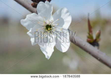 Cherry tree flowers, natural background, spring, nature