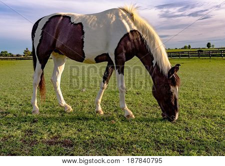 Pinto brown and white horse grazing on a Kentucky horse farm