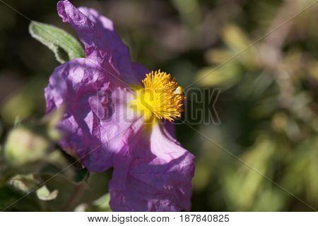 Flower of a pink rock rose (Cistus creticus)